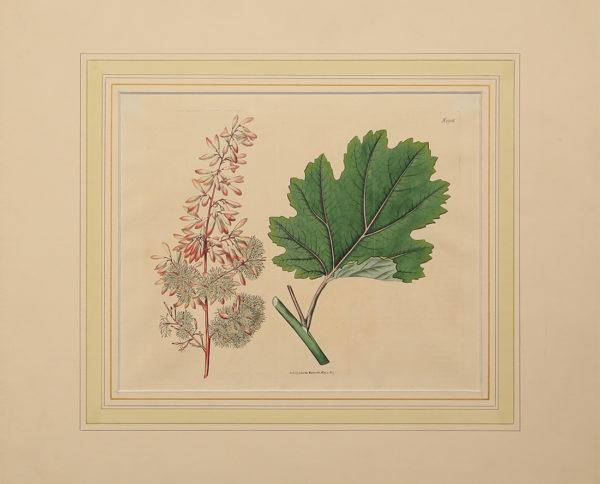 Stampe Antiche Botanica